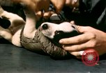 Image of Puppy in life preserver United Kingdom, 1944, second 29 stock footage video 65675020899