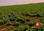 Image of green cabbage California United States USA, 1967, second 2 stock footage video 65675020974