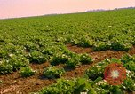 Image of green cabbage California United States USA, 1967, second 4 stock footage video 65675020974