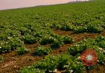 Image of green cabbage California United States USA, 1967, second 7 stock footage video 65675020974