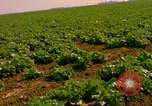 Image of green cabbage California United States USA, 1967, second 14 stock footage video 65675020974