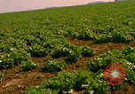 Image of green cabbage California United States USA, 1967, second 15 stock footage video 65675020974