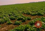 Image of green cabbage California United States USA, 1967, second 16 stock footage video 65675020974
