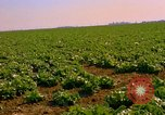Image of green cabbage California United States USA, 1967, second 17 stock footage video 65675020974