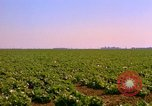 Image of green cabbage California United States USA, 1967, second 18 stock footage video 65675020974