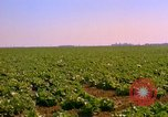 Image of green cabbage California United States USA, 1967, second 21 stock footage video 65675020974