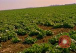 Image of green cabbage California United States USA, 1967, second 24 stock footage video 65675020974