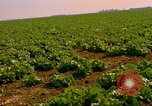 Image of green cabbage California United States USA, 1967, second 25 stock footage video 65675020974