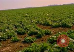 Image of green cabbage California United States USA, 1967, second 26 stock footage video 65675020974