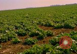Image of green cabbage California United States USA, 1967, second 28 stock footage video 65675020974