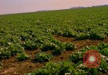 Image of green cabbage California United States USA, 1967, second 29 stock footage video 65675020974