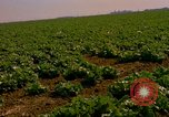 Image of green cabbage California United States USA, 1967, second 30 stock footage video 65675020974