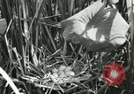Image of wild birds United States USA, 1921, second 15 stock footage video 65675021532