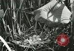 Image of wild birds United States USA, 1921, second 17 stock footage video 65675021532