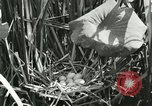 Image of wild birds United States USA, 1921, second 19 stock footage video 65675021532
