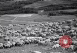 Image of American livestock United States USA, 1939, second 8 stock footage video 65675021580