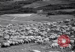 Image of American livestock United States USA, 1939, second 9 stock footage video 65675021580
