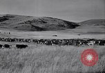 Image of American livestock United States USA, 1939, second 55 stock footage video 65675021580