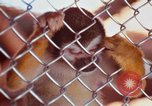 Image of LSD experiments animal testing San Francisco California USA, 1968, second 41 stock footage video 65675021680