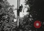 Image of Date harvesting Bacuba Beled Ruz Baghdad Iraq, 1929, second 40 stock footage video 65675022176