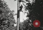 Image of Date harvesting Bacuba Beled Ruz Baghdad Iraq, 1929, second 45 stock footage video 65675022176