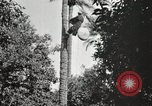 Image of Date harvesting Bacuba Beled Ruz Baghdad Iraq, 1929, second 46 stock footage video 65675022176