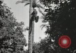 Image of Date harvesting Bacuba Beled Ruz Baghdad Iraq, 1929, second 48 stock footage video 65675022176