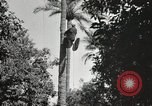 Image of Date harvesting Bacuba Beled Ruz Baghdad Iraq, 1929, second 49 stock footage video 65675022176