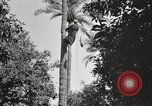 Image of Date harvesting Bacuba Beled Ruz Baghdad Iraq, 1929, second 50 stock footage video 65675022176