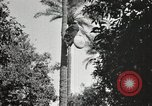 Image of Date harvesting Bacuba Beled Ruz Baghdad Iraq, 1929, second 51 stock footage video 65675022176