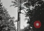 Image of Date harvesting Bacuba Beled Ruz Baghdad Iraq, 1929, second 52 stock footage video 65675022176