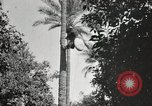 Image of Date harvesting Bacuba Beled Ruz Baghdad Iraq, 1929, second 53 stock footage video 65675022176