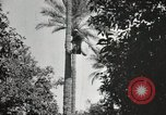 Image of Date harvesting Bacuba Beled Ruz Baghdad Iraq, 1929, second 54 stock footage video 65675022176