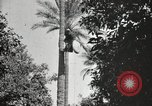 Image of Date harvesting Bacuba Beled Ruz Baghdad Iraq, 1929, second 55 stock footage video 65675022176
