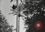 Image of Date harvesting Bacuba Beled Ruz Baghdad Iraq, 1929, second 56 stock footage video 65675022176