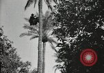Image of Date harvesting Bacuba Beled Ruz Baghdad Iraq, 1929, second 57 stock footage video 65675022176