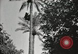 Image of Date harvesting Bacuba Beled Ruz Baghdad Iraq, 1929, second 60 stock footage video 65675022176