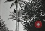 Image of Date harvesting Bacuba Beled Ruz Baghdad Iraq, 1929, second 62 stock footage video 65675022176
