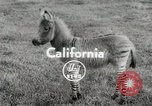 Image of Zonkey California United States USA, 1953, second 1 stock footage video 65675023023