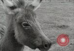 Image of Zonkey California United States USA, 1953, second 16 stock footage video 65675023023