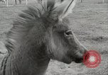 Image of Zonkey California United States USA, 1953, second 17 stock footage video 65675023023