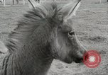 Image of Zonkey California United States USA, 1953, second 18 stock footage video 65675023023