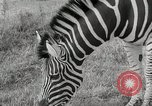 Image of Zonkey California United States USA, 1953, second 19 stock footage video 65675023023