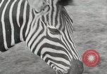 Image of Zonkey California United States USA, 1953, second 21 stock footage video 65675023023