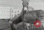Image of Zonkey California United States USA, 1953, second 22 stock footage video 65675023023