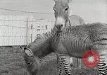 Image of Zonkey California United States USA, 1953, second 23 stock footage video 65675023023