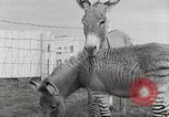 Image of Zonkey California United States USA, 1953, second 24 stock footage video 65675023023