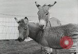 Image of Zonkey California United States USA, 1953, second 25 stock footage video 65675023023