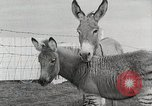 Image of Zonkey California United States USA, 1953, second 26 stock footage video 65675023023