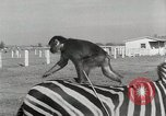 Image of Zonkey California United States USA, 1953, second 37 stock footage video 65675023023